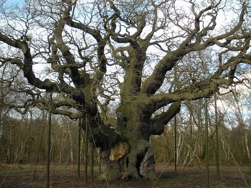 Major Oak at Sherwood Forest