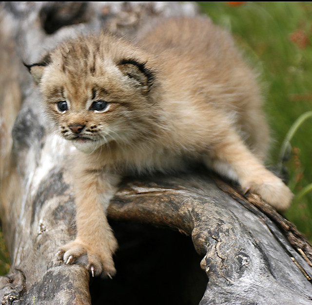 Very Cute And Beautiful Wallpapers Linx Kitten On Log Flickr Photo Sharing