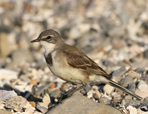 Cape Wagtail (Motacilla capensis) 2