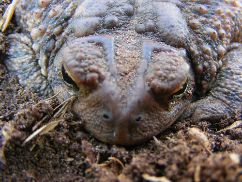 You cannot catch warts from frogs or toads. Toad by joshme17 on Flickr. Used under Creative Commons license. http://www.flickr.com/photos/joshme17/2350952856/in/photolist-4zKfnW-4Zx8ux-57XN6D-5aT9B5-5e5CKW-5Hfxeo-63fMCR-63fVWM-63kbKh-68b98z-6aunzm-6h5Y3F-6oxH7B-6qZ34z-6AsqQ2-6FxNCK-6H9azB-6HdcDo-6TQ3fu-726z9e-726zoP-75aw5u-75awjs-7fBKHP-7iWJXG-7uGwVE-f8UCR4-f8UCYt-8HgiEp-9AbnL1-cNCdiS-8AoHm8-c6W4vC-8zkmfJ-8zhd7R-8zkngq-9GCses-9WZofY-9SHX3Z-8ArJpC-8ArJdS-8ArJDu-8UfcCo-bmBg5Q-9R8gGw-afsqkR-9VCcrU-8AoGcv-8ArKn9-8AoGVk-bUN4z6/