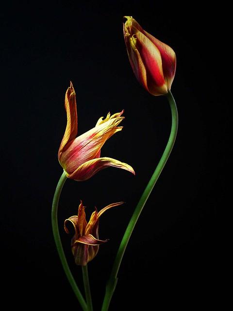 Decaying tulips (3)