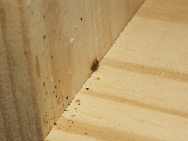 bed bug nymphs eggs feces on wood  Flickr  Photo Sharing