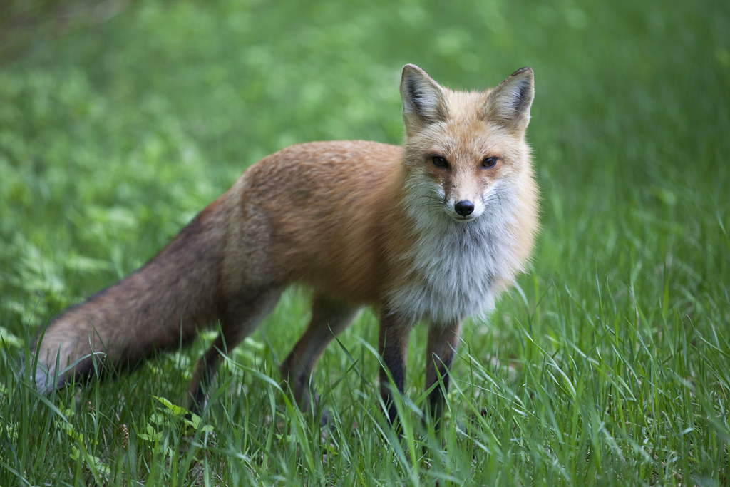Red fox photo by Flickr user halmorgan