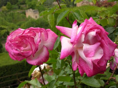 Roses_1358.jpg