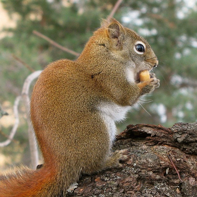 Cureuil Roux Pine Squirrel Flickr Photo Sharing