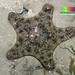 Cake sea star (Anthenea aspera)