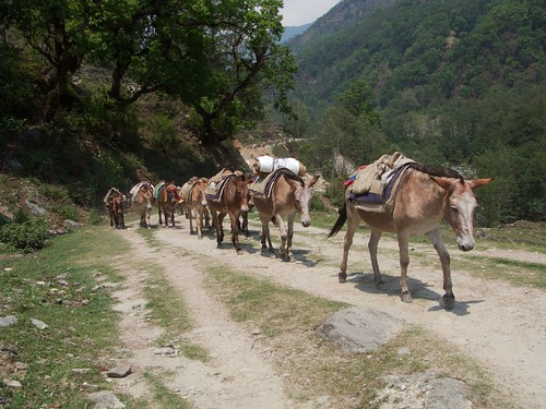 Mule train back to Nayapul
