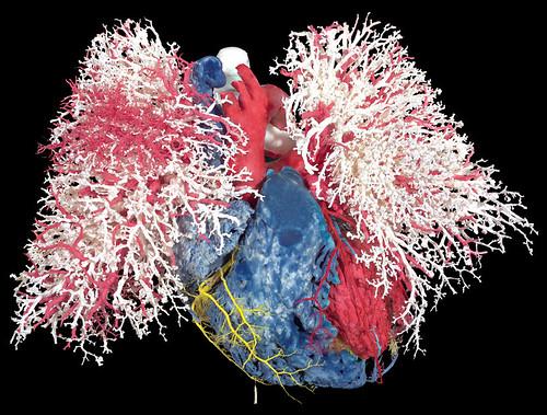 bodies-blood-vessles-heart-lungs