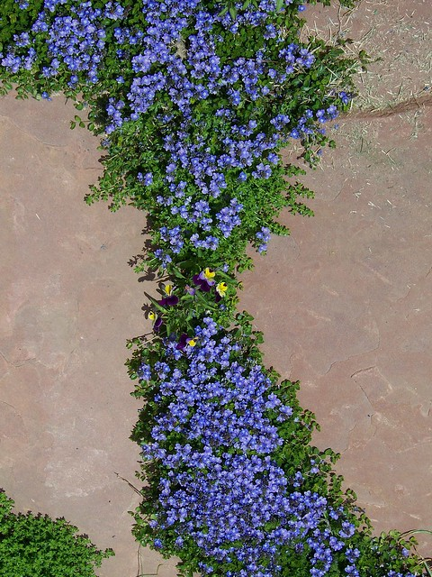 Turkish Veronica Blooming in Flagstone Patio  Flickr  Photo Sharing