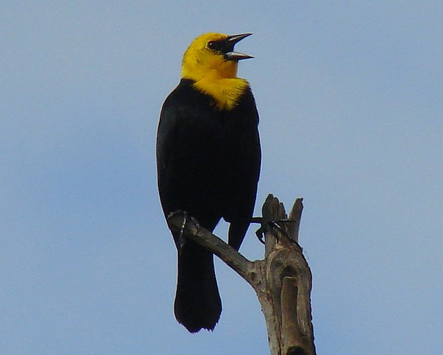 Turpial de agua Yellowhooded Blackbird Chrysomus