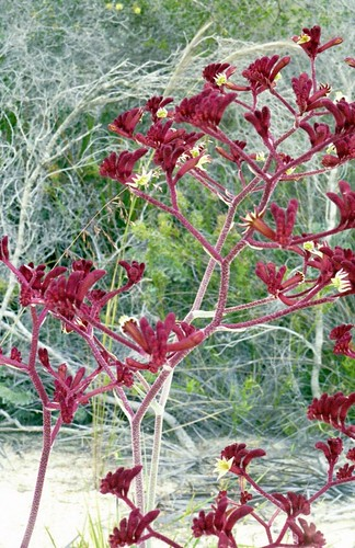 Wildflowers - Kangaroo Paw