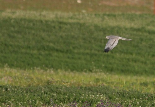 Montagu's Harrier - male (Circus pygargus) 06