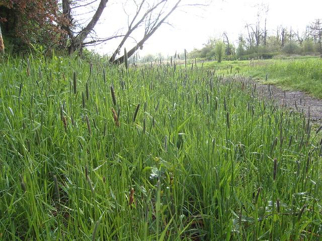 Meadow Foxtail Grass