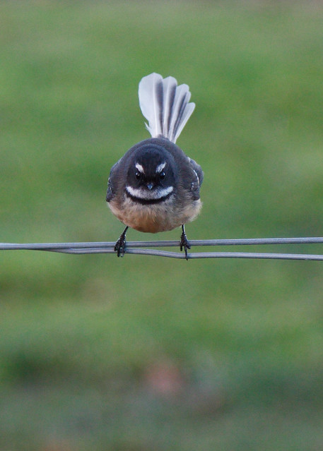 angry fantail low-res