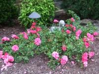 Pink Carpet Rose | Flickr - Photo Sharing!