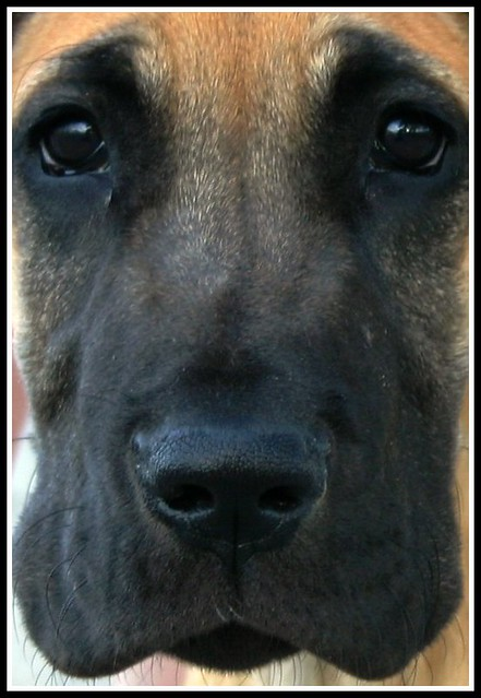 great dane puppy face Flickr Photo Sharing!