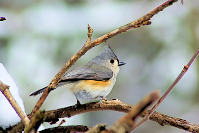 Titmouse on a Cold March Day, March 4, 2007, west-central Arkansas