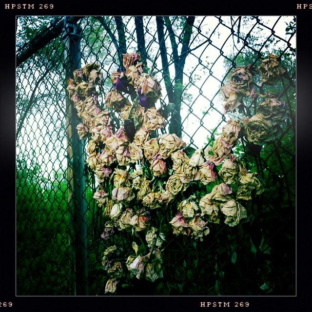 Urban Roses