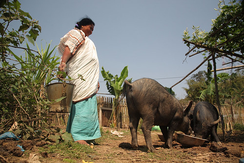 Feeding pigs in Nagaland