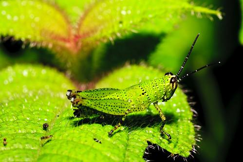 Green hopper (I.D anyone?)