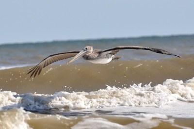 Brown pelican galveston island | Flickr - Photo Sharing!