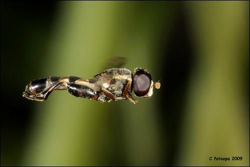 fotoopa D321052 Menuetzweefvlieg - Syritta pipiens by fotoopa