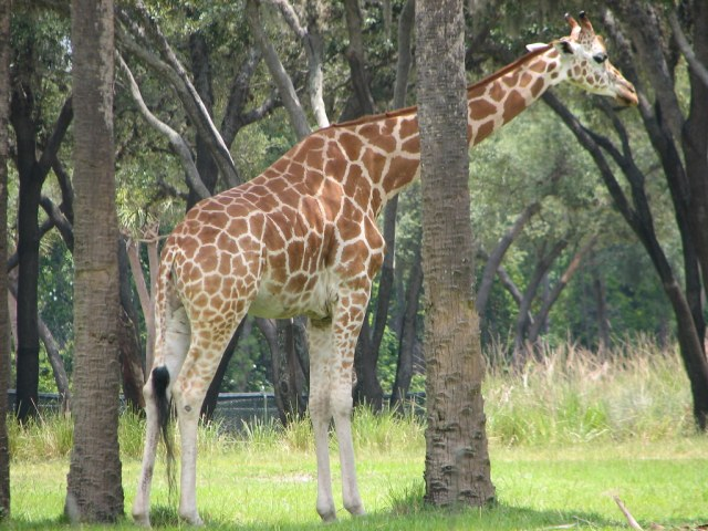 Disney Animal Kingdom Lodge Sanaa Giraffe