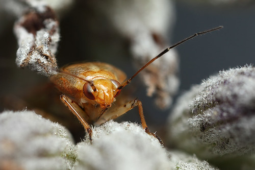 Plant bug in lavender seed head #1