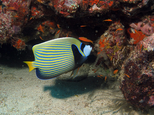 Angelfishes of Singapore (3/4)