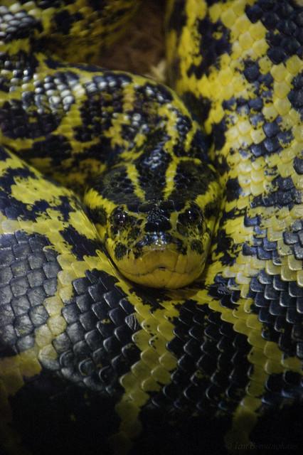 Yellow Anaconda Flickr Photo Sharing