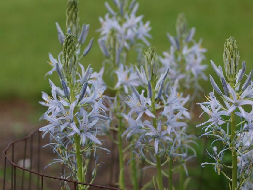 Camassia leichtlinii 'Blue Heaven' av F. D. Richards, på Flickr