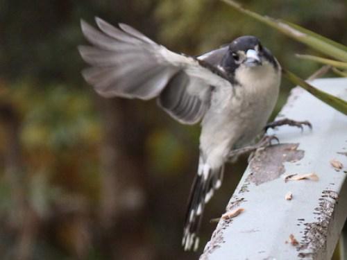 Grey Butcherbird by cskk