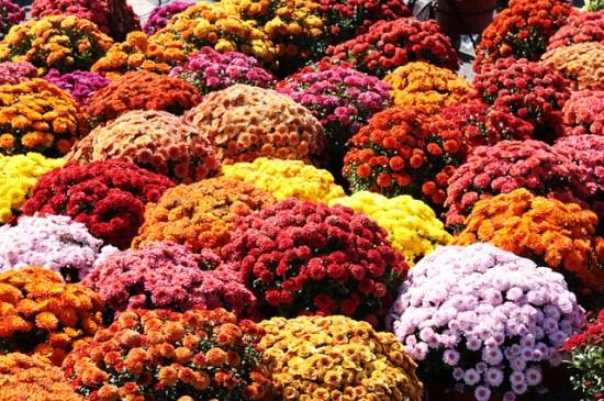 Fall Mums Flickr Photo Sharing