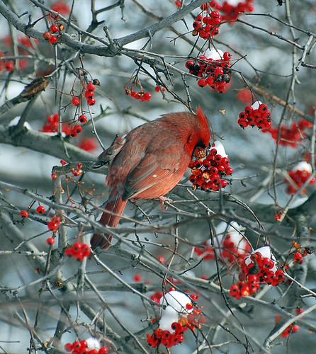 Central Park: Northern Cardinal Stuffing Face