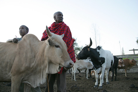 Maasai father and son tend to their cattle in Kenya