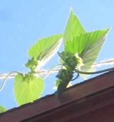 hops cones forming already!