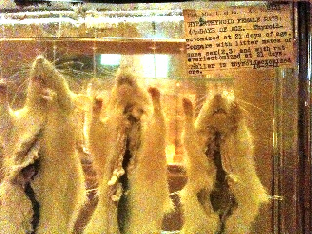 rats at Mutter Museum  Explore misterbissons photos on