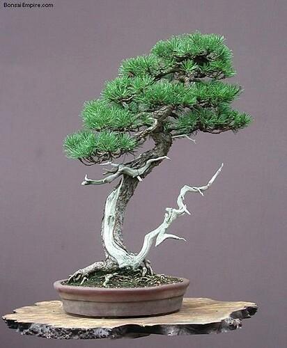 top-bonsai-gallery-l-48