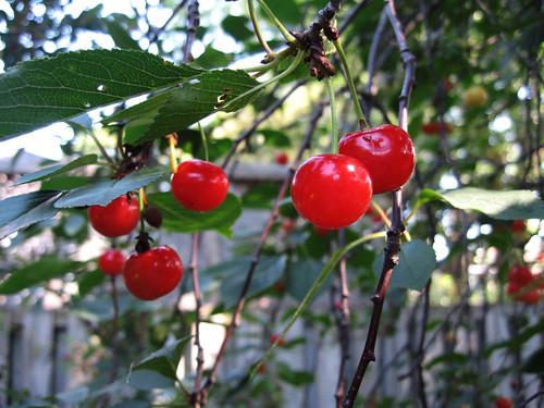 Cherries_3