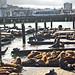USA San Francisco Fisherman's Wharf area Pier 39 Sea Lions