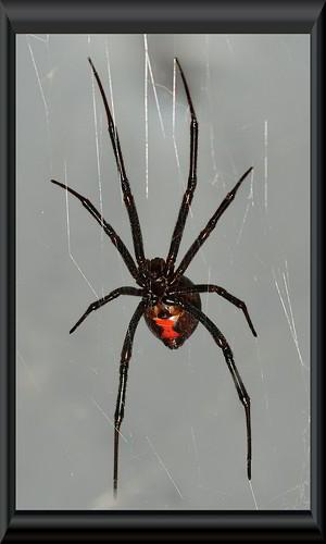 Black Widow Spider courtesy of Peter Baer