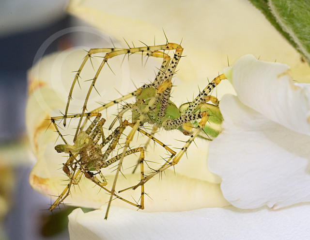 Green Lynx Spider Bite Treatment