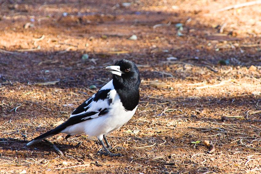 Magpies: schöner Morgengesang