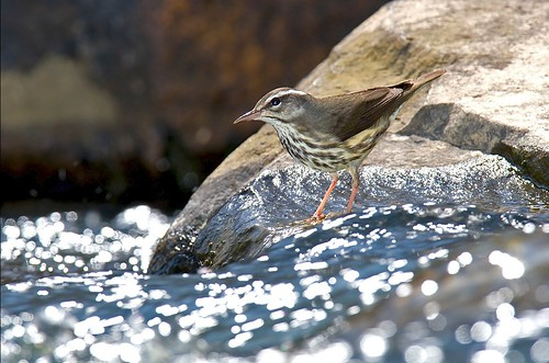 Louisiana Waterthrush in North Carolina by Bill Majoros (Creative Commons BY-SA)