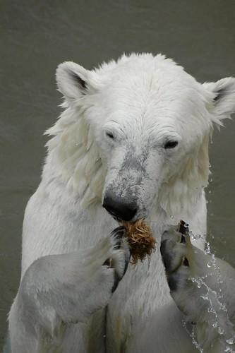 Eisbärin Valeska im Zoo Ranua