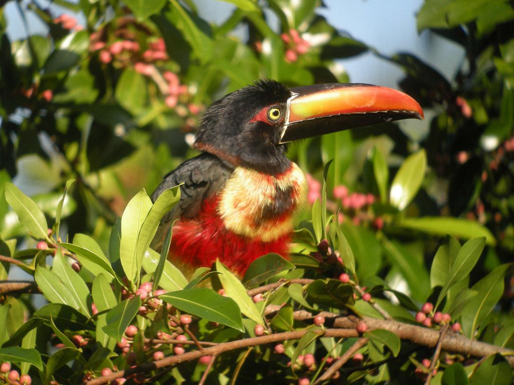 Fiery-billed Araçari, Sierpe, Costa Rica