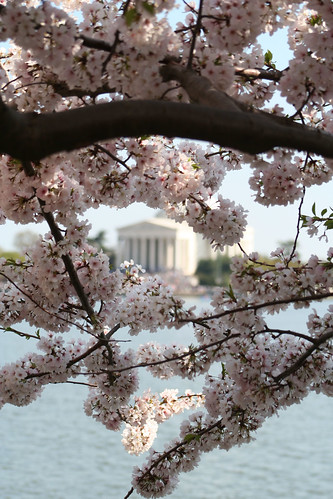 cherry trees and lincoln memorial, wash. dc