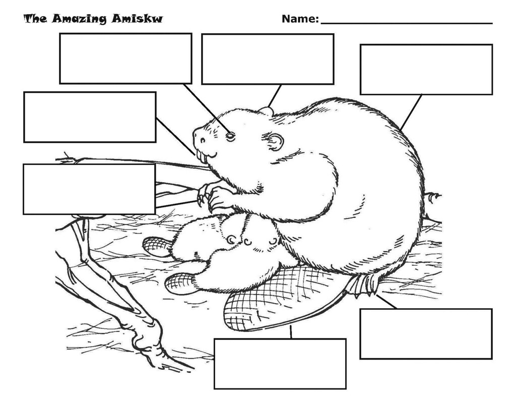 Amazing Amiskw Beaver Worksheet