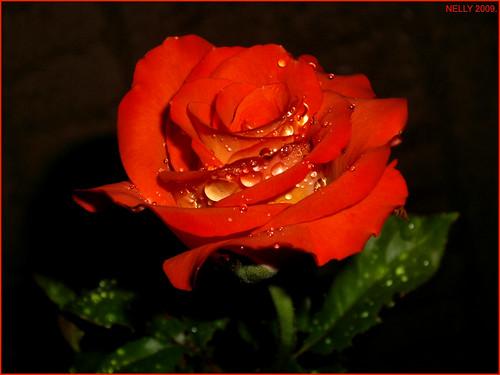 * SUMMER ROSE *