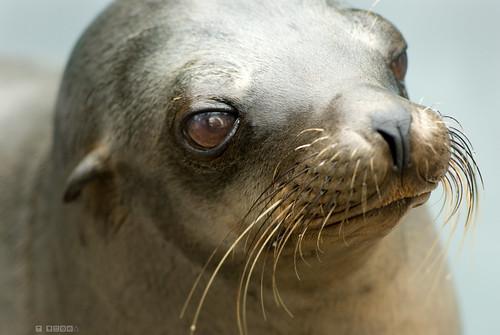 Fur Seal - The Thinker